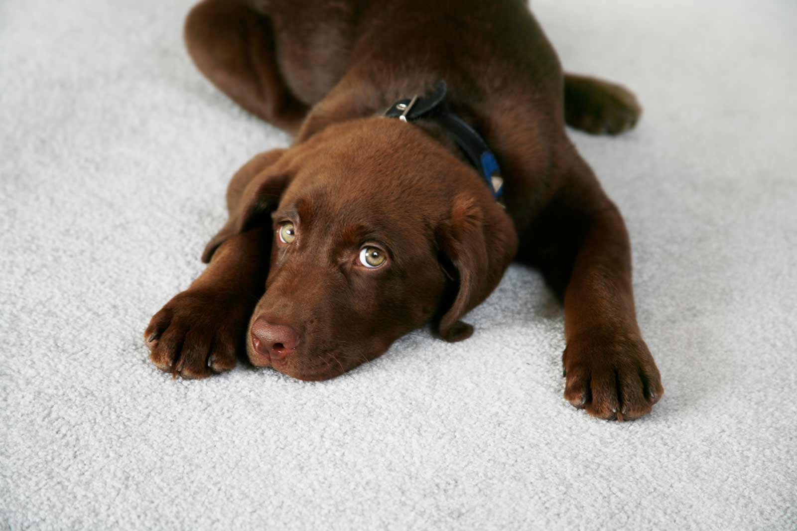 Best Carpet For Pets Feel The Home