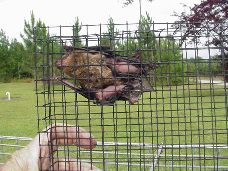 Professional Bat Removal in Montcalm County