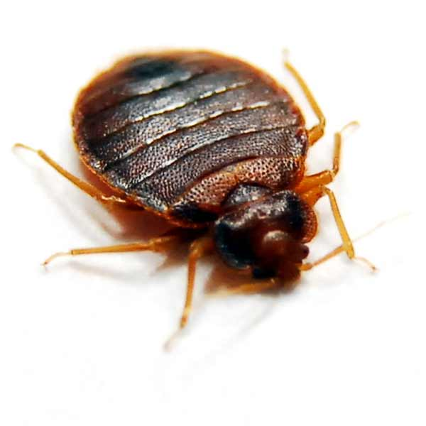 Bed Bugs Insects