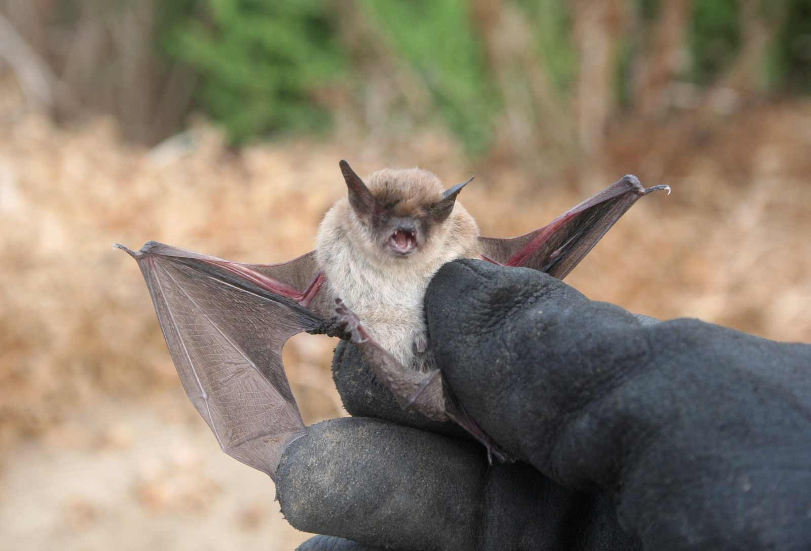 Wildlife Bat Exterminators